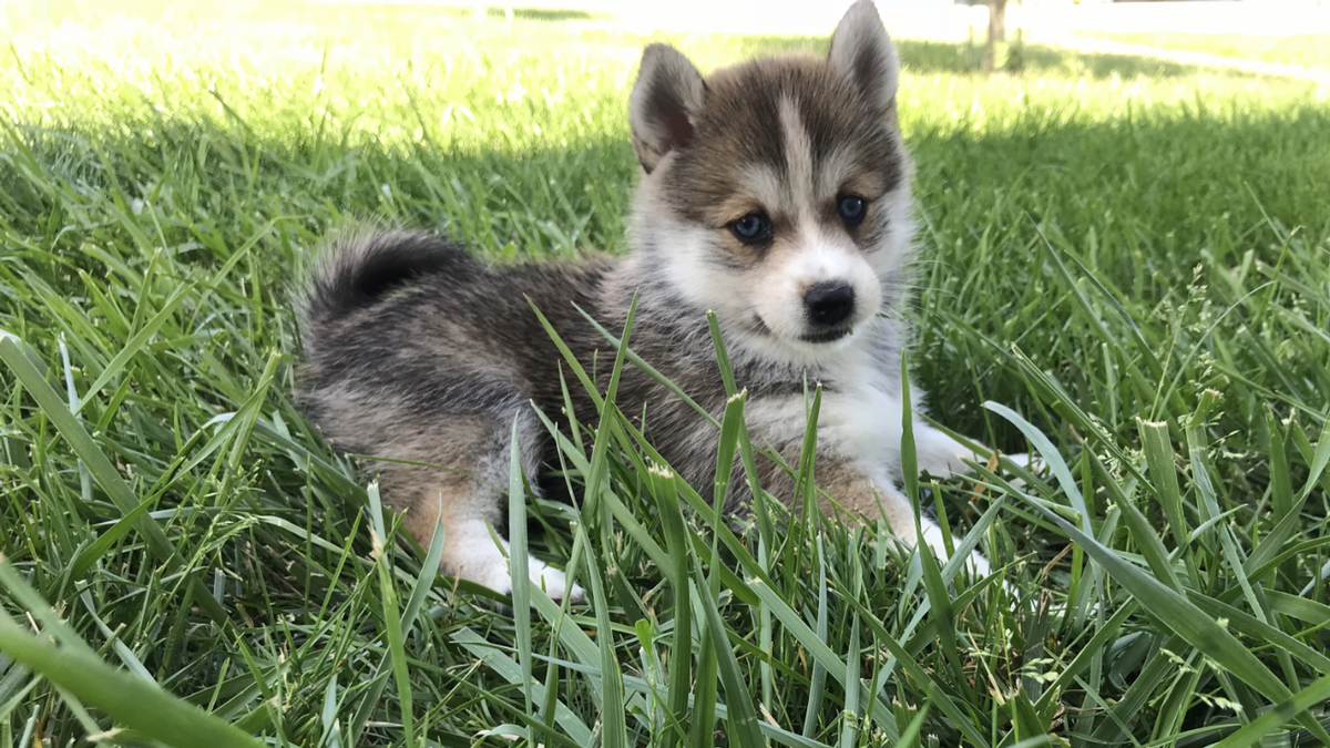 Pomsky Breed Photo
