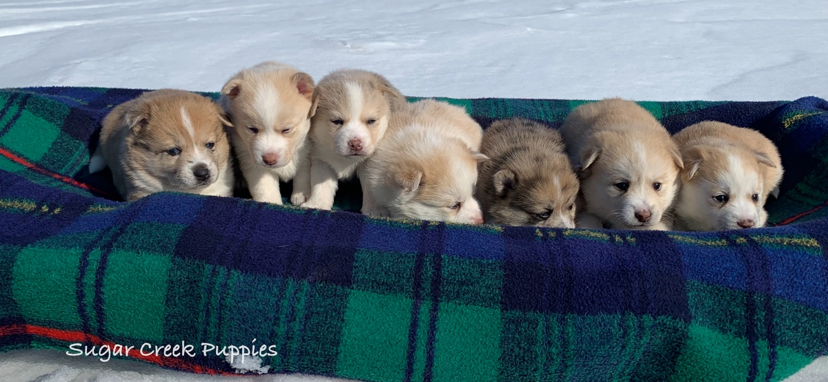 Lacey's Pomsky Puppies 6