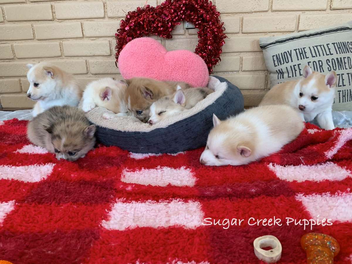 Lacey's Pomsky Puppies 3 5