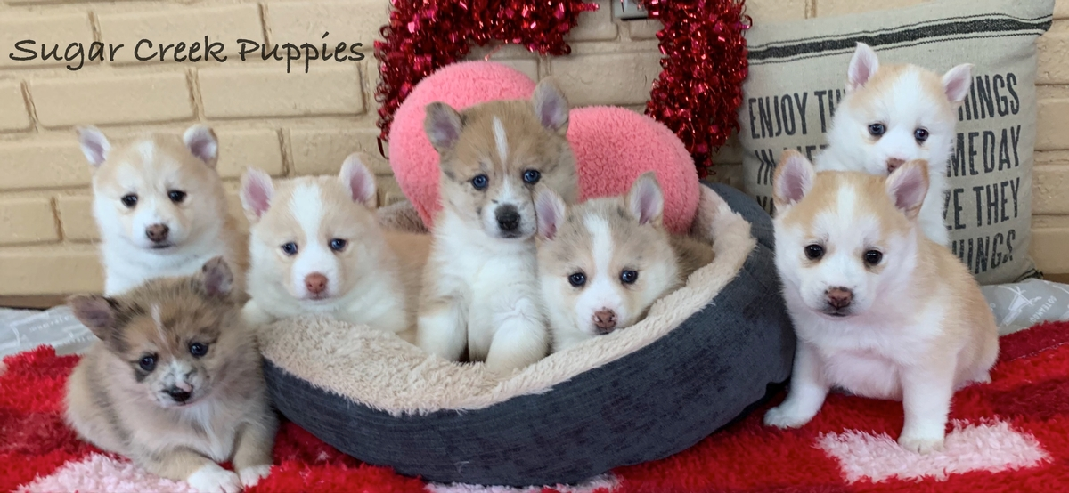 Lacey's Pomsky Puppies