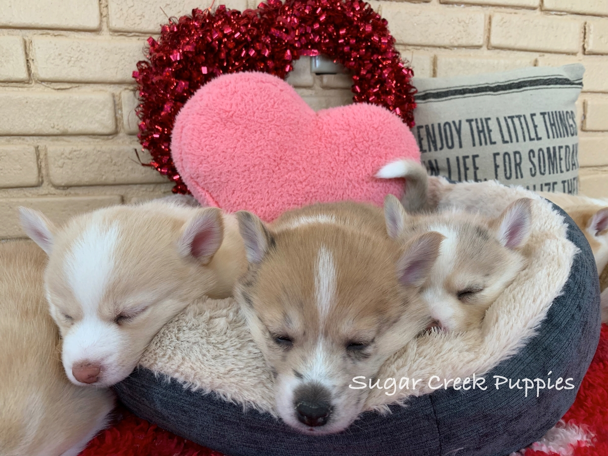 Lacey's Pomsky Puppies 3