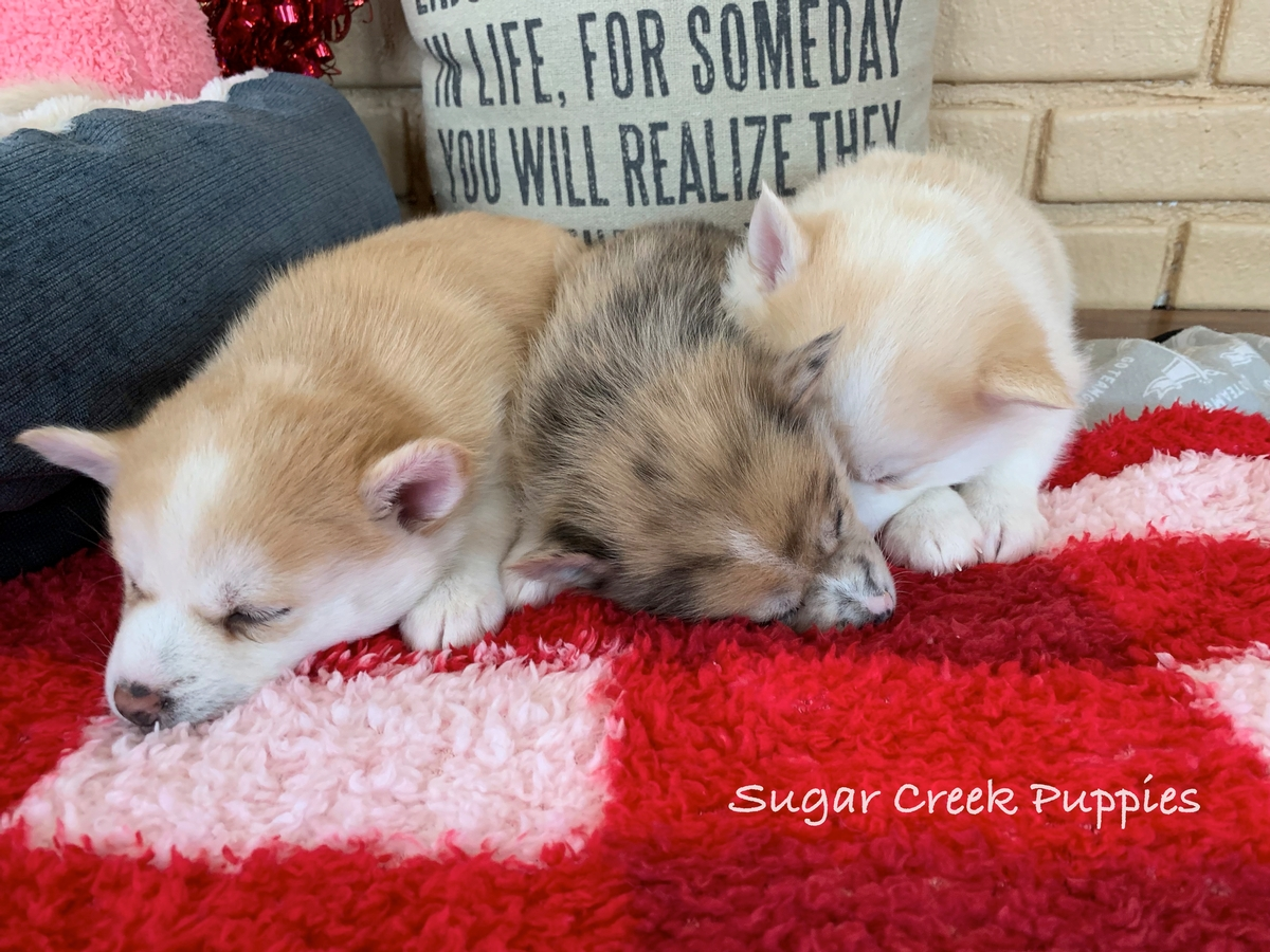 Lacey's Pomsky Puppies 3 4