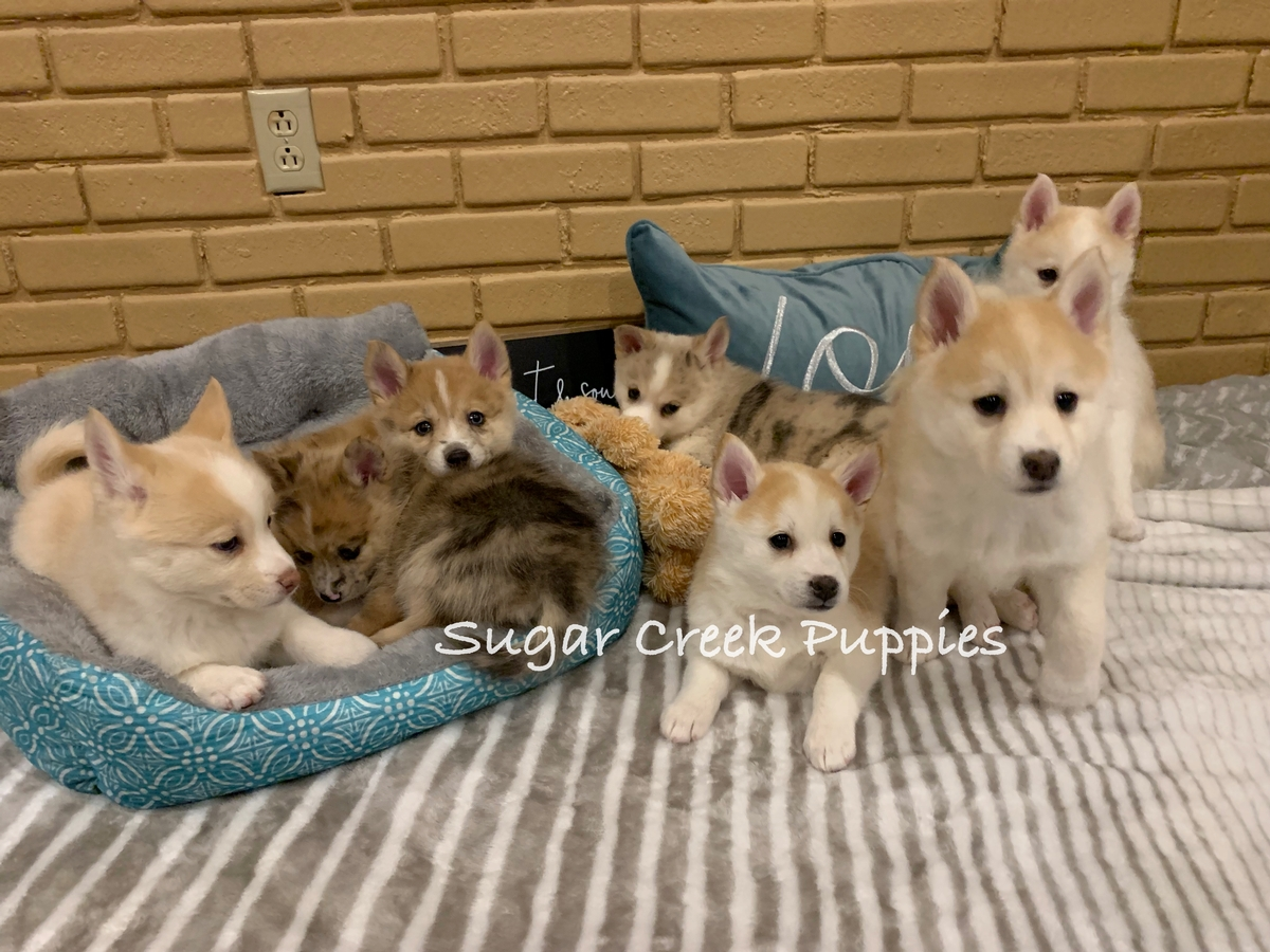 Lacey's Pomsky Puppies 3 7