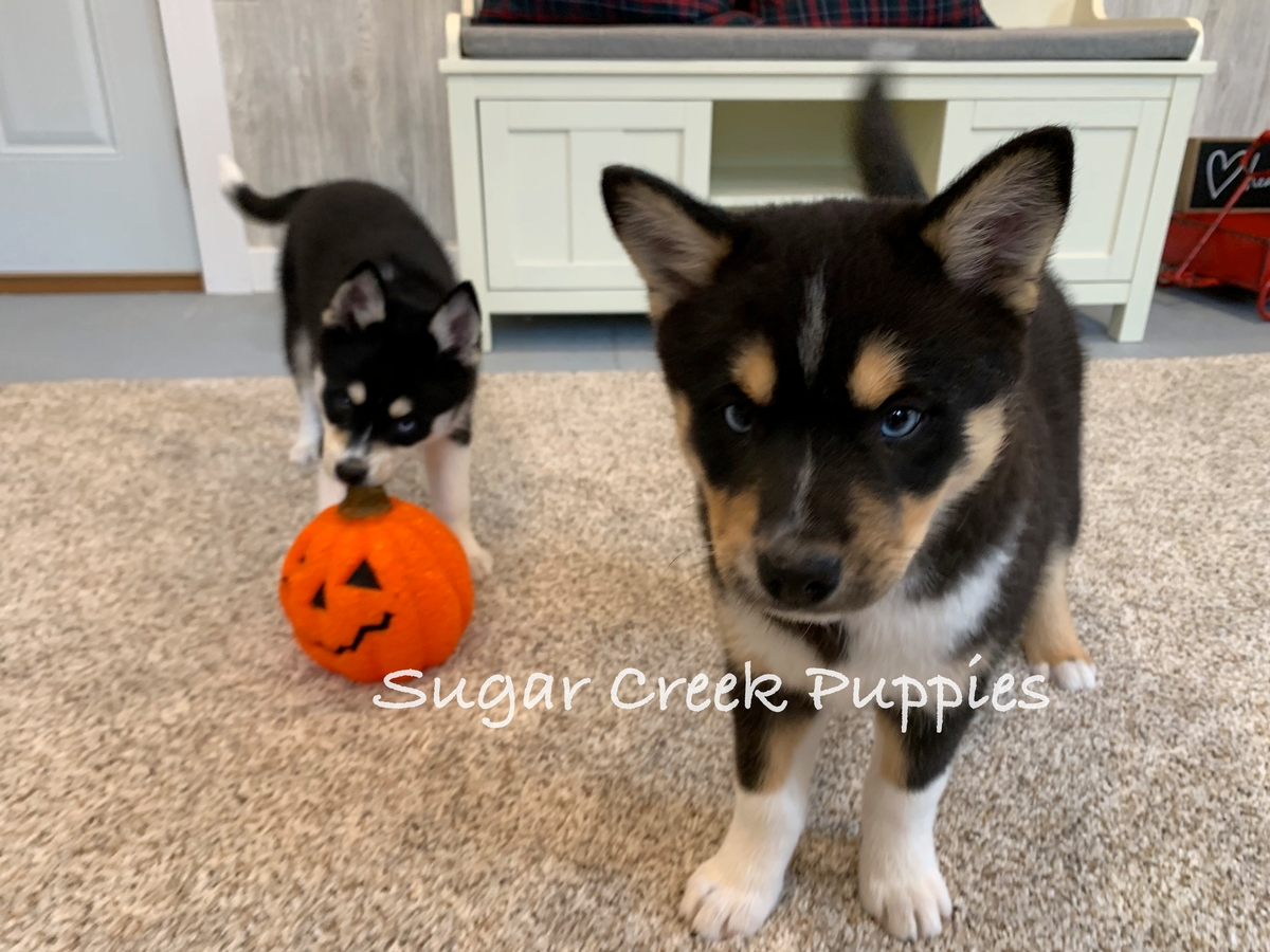 Zoey's Puppies 8