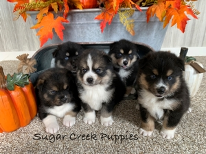 Harper's Pomsky Puppies