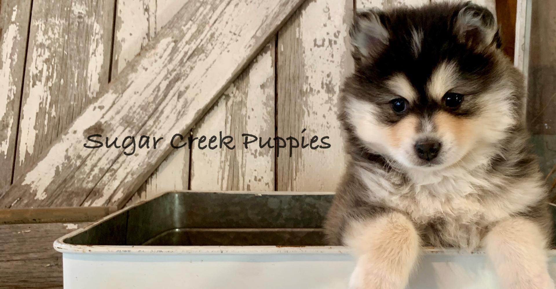 Sugar Creek Puppies | Pomsky Puppies for Sale Iowa - Pomsky